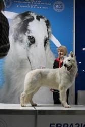 Белая швейцарская овчарка щенки