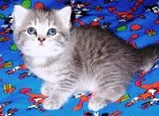 Британские котята оокрас ВИСКАС из питомника