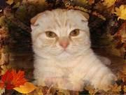 Продаются плюшевые шотландские вислоухие и британские котята