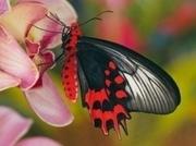 Салют из Тропических Живых Бабочек изАфрики на любой праздник